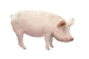 swinia wielka biala polska